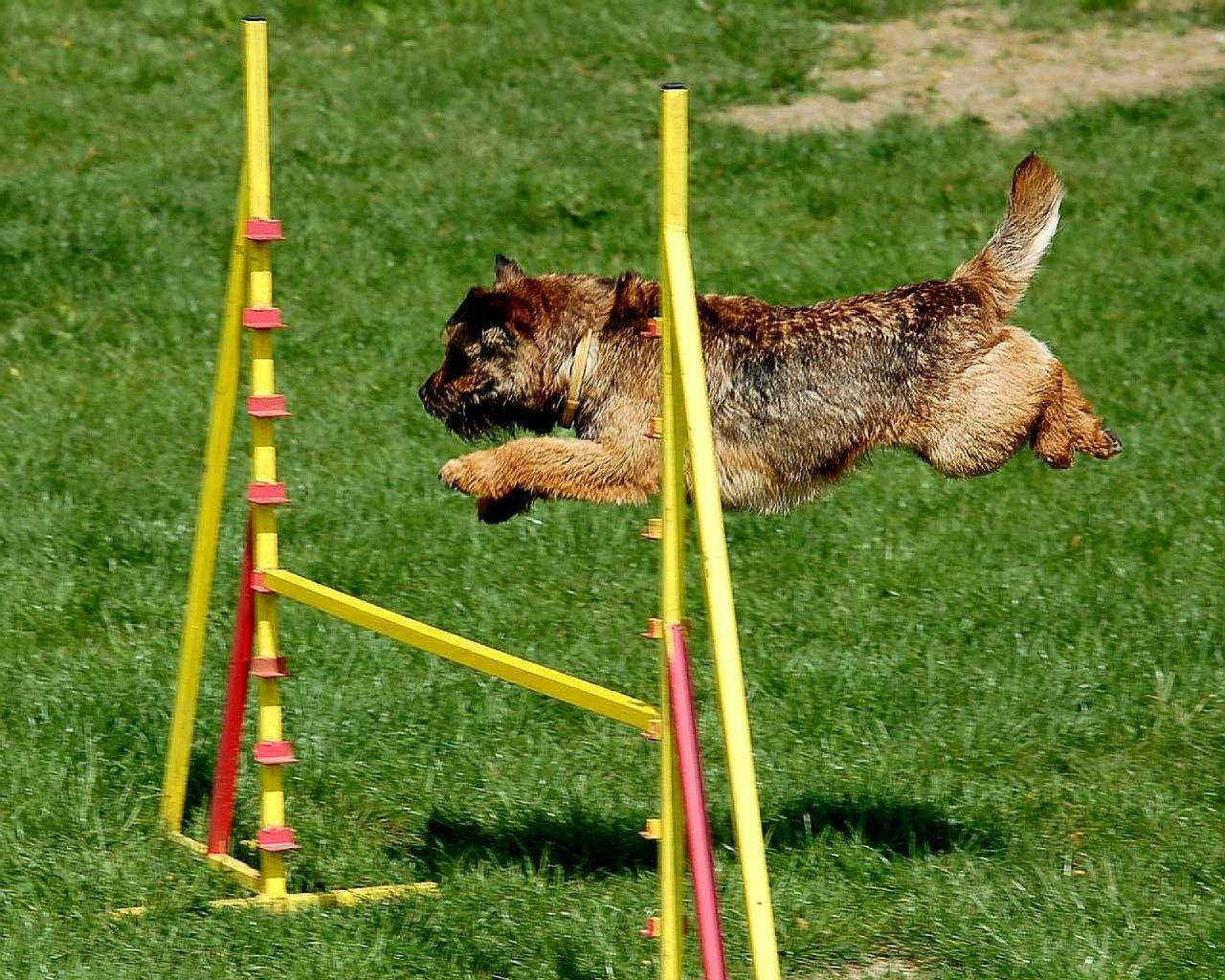 Chien qui saute par-dessus un obstacle pendant un parcours d'Agility