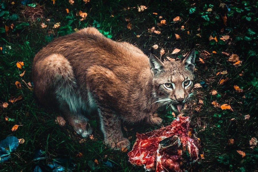 Félin qui mange une carcasse crue